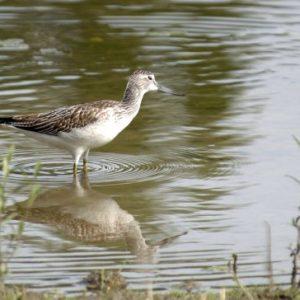 Oiseaux d`eau
